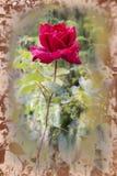 Livlig röd ros med droppar av dagg på kronbladen Royaltyfri Bild