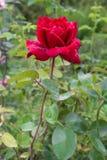 Livlig röd ros med droppar av dagg på kronbladen Royaltyfria Bilder