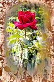 Livlig röd ros med droppar av dagg på kronbladen Arkivbild