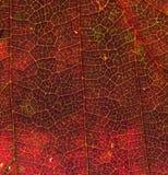 Livlig röd höstbladtextur med åder Arkivfoto