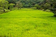 Livlig risfält royaltyfria foton