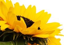 livlig solros Fotografering för Bildbyråer