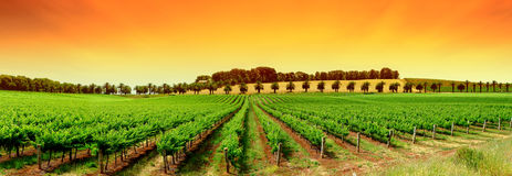 livlig vingård Royaltyfri Fotografi