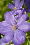 livliga blåa blommor royaltyfri bild