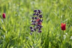 Livliga Bluebonnets på maximumet av deras blom royaltyfria foton