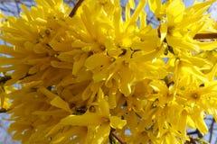 Livliga guld- blommor av forsythia underifrån Arkivfoto