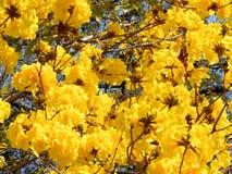 Livliga gulingblomningar Royaltyfria Foton