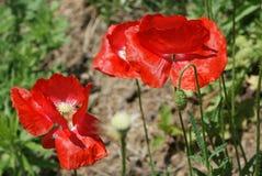 Livliga röda vallmo som blommar på berget royaltyfri bild