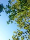 Livliga treetops för vår med gräsplansidor och blå himmel för cler Fotografering för Bildbyråer