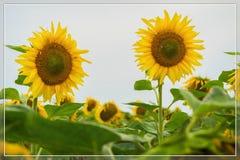 Livligt kort av blomningsolrosnärbilden Naturlig ljus bakgrund för något tema Fotografering för Bildbyråer