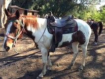 Livrando o cavalo Imagem de Stock