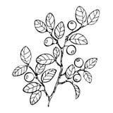 Livre de coloriage de myrtille, croquis, illustration noire et blanche, monochrome La myrtille de branche laisse des baies Forêt illustration libre de droits