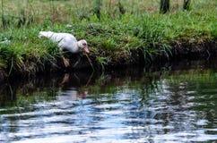Livre entrante de jeune canard Image libre de droits