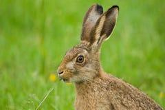 Lièvres de Brown mangeant l'herbe Photographie stock libre de droits
