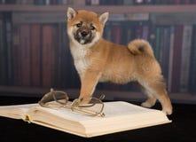 Livres de lecture de Shiba Inu de chien image libre de droits