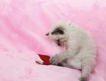 Livro de leitura do gatinho no fundo cor-de-rosa Fotos de Stock Royalty Free