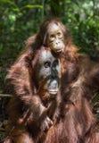livsmiljöen för den borneo gröngölingkvinnlign kysser för orangutanregn för mumen infött trä bornean orangutan Royaltyfri Bild