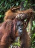 livsmiljöen för den borneo gröngölingkvinnlign kysser för orangutanregn för mumen infött trä bornean orangutan Royaltyfria Foton