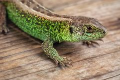 Green common lizard. Livw green common lizard on wooden background stock photography