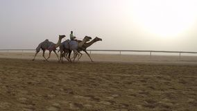 Camels racing in a desert stock video