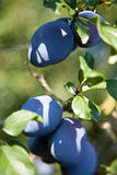 Śliwka (Prunus domestica subsp domestica) Obrazy Stock
