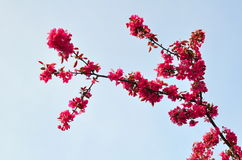 Śliwki niebieskie niebo i kwiaty Obrazy Royalty Free