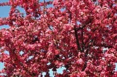 Śliwki niebieskie niebo i kwiaty Zdjęcia Royalty Free