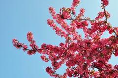 Śliwki niebieskie niebo i kwiaty Zdjęcia Stock