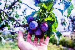 śliwki purpurowe Fotografia Royalty Free