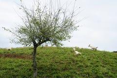 Śliwkowego drzewa i kózki kierdel Obrazy Royalty Free