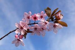Śliwkowego drzewa wiosny kwiaty Obraz Royalty Free