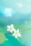 Śliwkowego kwiatu płytka głębia pole selekcyjna ostrość Zdjęcie Royalty Free