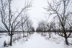 ŚLIWKOWI drzewa obrazy stock