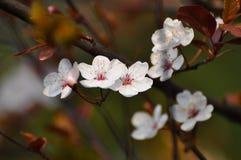 Śliwkowi kwiaty Fotografia Stock