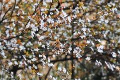Śliwkowi kwiaty Obraz Stock