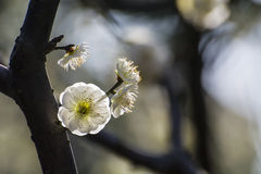 Śliwkowi kwiaty Obraz Royalty Free