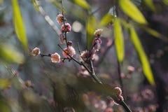 Śliwkowi kwiaty Obrazy Royalty Free