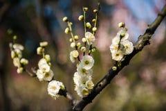 Śliwkowi kwiaty Fotografia Royalty Free