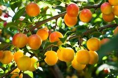 Śliwkowy drzewo Fotografia Stock