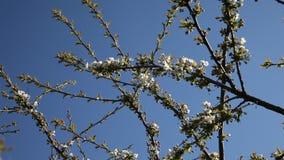 Śliwkowy drzewo. zdjęcie wideo