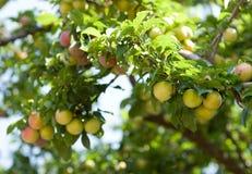 śliwkowy drzewo Zdjęcie Royalty Free