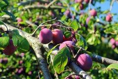 Śliwkowy drzewo z owoc Obrazy Stock