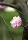 Śliwkowy kwiat Obraz Royalty Free