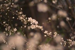 Śliwkowy kwiat Zdjęcie Royalty Free