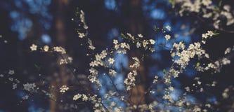 Śliwkowy kwiat Zdjęcie Stock