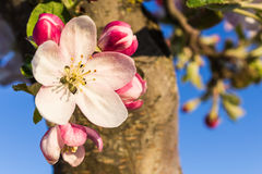 Śliwkowy kwiat Zdjęcia Stock