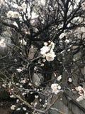 Śliwkowy kwiat Fotografia Stock