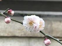 Śliwkowy kwiat Fotografia Royalty Free