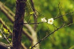 Śliwkowy kwiatu kwitnienie Zdjęcie Royalty Free