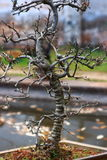 śliwkowy mume drzewo Zdjęcie Stock